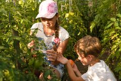 Children gather vegetables harvest. A boy and a girl are working. Children harvest vegetables in a family garden. A boy and a girl in a greenhouse harvest a stock photography