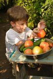 Children gather vegetables harvest. The boy works in a greenhous. Children harvest vegetables in a family garden.A boy in a greenhouse collects a tomato harvest Royalty Free Stock Photo
