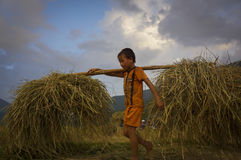 Children help family working on the harvest season. Tu Le town,Lao Cai province, the north of Viet Nam, Sept 25 2015, children help their family working on the Stock Image