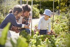 Children Helping Father As They Work On Allotment Together royalty free stock images