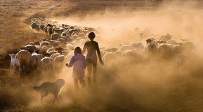 Children herding the sheep. Two young girls herding the sheep with the help of a sheepdog along a dustry farm track to their nightime paddock royalty free stock images