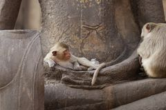 Children Monkey sitting sleeping on ancient Buddha hand statue, Candid animal wildlife picture waiting for food. Group of mammal on historical travel Stock Image