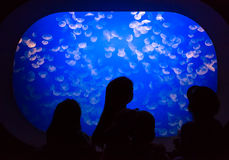 Children at Moon Jellyfish Tank. Children in front of Aurelia labiata - Moon Jellyfish tank stock photography