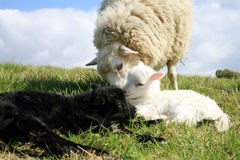 Children and mother. Lambs. Stock Photo