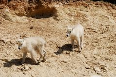 Children of Mountain Goat,Canadian Rockies,Canada Stock Photos