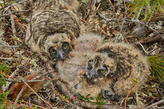 Children of an owl in a nest. Island on Jack Londona's lake. Summer. Kolyma royalty free stock photos