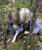 Children picking chanterelles Royalty Free Stock Images