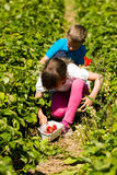 Children picking strawberries Royalty Free Stock Images