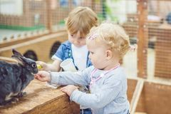 Children play with the rabbits in the petting zoo.  royalty free stock images
