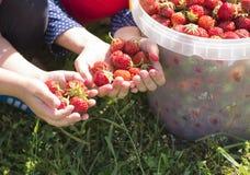 Children pomoce zbierać truskawki w ogródzie Obraz Stock