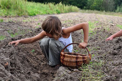 Children reaping potatoes in the field. Elementary age children gathering potatoes in the field in baskets stock images