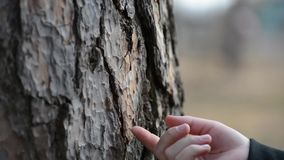 We remove the pine bark from the trunk of a tree. Children`s fingers chop the brown bark from the tree stalk stock video footage