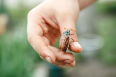 On the children's hand sits a large May-bugle beetle and is preparing to fly away. Blur and close-up. On the children`s hand sits a large May-bugle beetle and is royalty free stock image