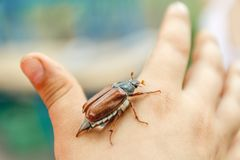 On the children's hand sits a large May-bugle beetle and is preparing to fly away. Blur and close-up. On the children`s hand sits a large May-bugle beetle and is stock photos