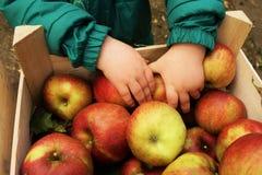 Fresh organic apples and child. Children`s hands and fresh organic apples stock images