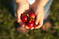 Children`s hands full of paradise apples and rowanberry. Horizontal Stock Images