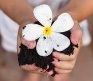 Children`s hands holding Plumeria. Hand With Plumeria flower on soil Stock Photos