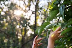 Children`s hands reach to pluck a green Apple from a branch. In the setting sun. Bluer. The counter light stock image