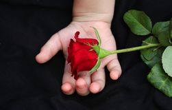 On children's hands is a red rose Stock Photos