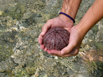Children's hands and sea urchin Royalty Free Stock Photography