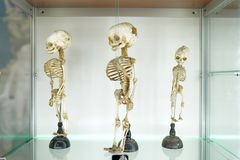 Children`s human medical skeleton on white background . Medical clinic concept. science museum royalty free stock photo