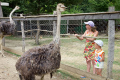 Children standing at the aviary with ostriches.  stock image
