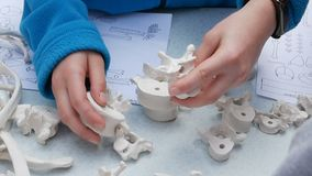 Children study anatomy, anthropology, assemble a skeleton model. Children`s hands collect the vertebrae of the spine stock video