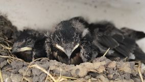 Children swallow sitting in the nest. Swallow cubs in a nest waiting for feeding stock footage