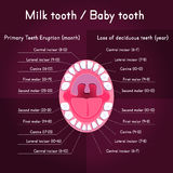 Children Teeth anatomy. Shows eruption and shedding time. Dental titles of every milk tooth - dental chart and timing of their appearance and change. Oral Stock Photography