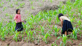 Children working on the corn field in Hagiang, Vietnam.  stock photo