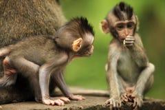 Childs delle scimmie Immagini Stock