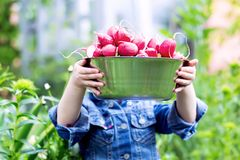 Childs-Hände, die voll eine Schüssel geerntete Rettiche vom Garten halten stockbild