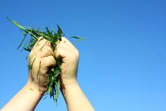 Childs Hand Holding Grass Clippings. A close up of a young chils hands holding grass clippings up in front of a blue sky Royalty Free Stock Photography