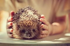 Childs hand holding wild hedgehog. Boy with pet Stock Photography