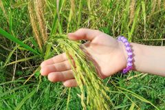 Childs Hand with Paddy Rice royalty free stock photos