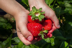 A childs hands full of berries. A child holds several strawberries just picked from a patch Stock Photography