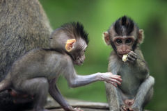 Childs of monkeys Royalty Free Stock Photography