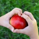 Childs ręki z dużym świeżo zbierającym jabłkiem Organicznie, życiorys rosyjska sezonowa owoc, Odgórny widok zdjęcie stock