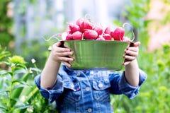 Childshanden die een komhoogtepunt van geoogste radijzen van de tuin houden stock afbeelding