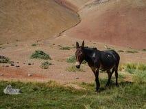 Chile atacama pustyni dziki osioł obrazy royalty free