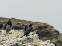 Chile brzegowy denny ptak na skałach obrazy stock
