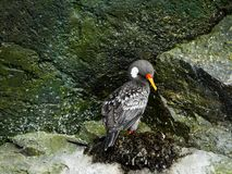 Chile coast sea bird on rocks royalty free stock photo