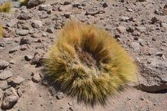 Chile. Desert plant - paja brava Royalty Free Stock Photos