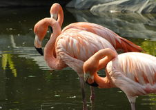 Chile flamingos. Standing Stock Photography