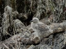 Chile frajera dziki młody kamuflaż fotografia stock