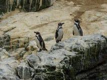 Chile grupa dziki pingwinu patagonia fotografia royalty free
