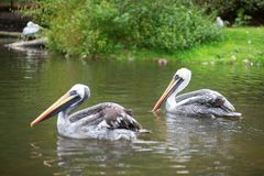 Chile pelicans Royalty Free Stock Photography