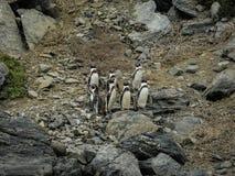 Chile pingwinu rodziny dziki Patagonia zdjęcie royalty free