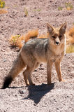 Chile's Andean fox Royalty Free Stock Photo