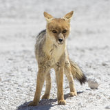 Chile's Andean fox, Atacama desert Stock Images